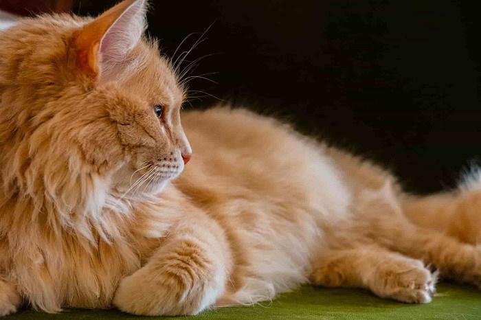 Orange Tabby Cat is Not A Breed